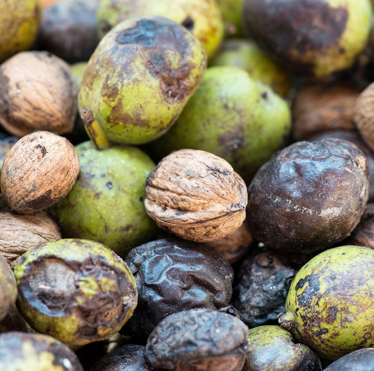 Die abgefallenen Nüsse auflesen; faule und kranke Nüsse aussortieren