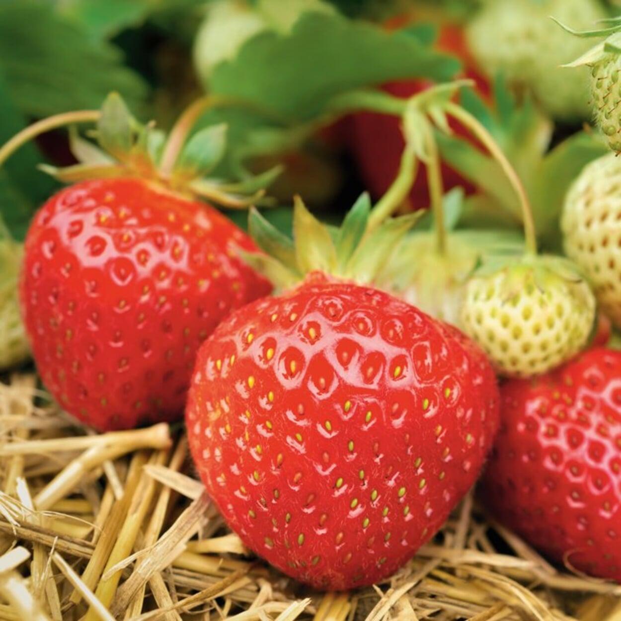 Reichtragende und gesunde Pflanzen auswählen