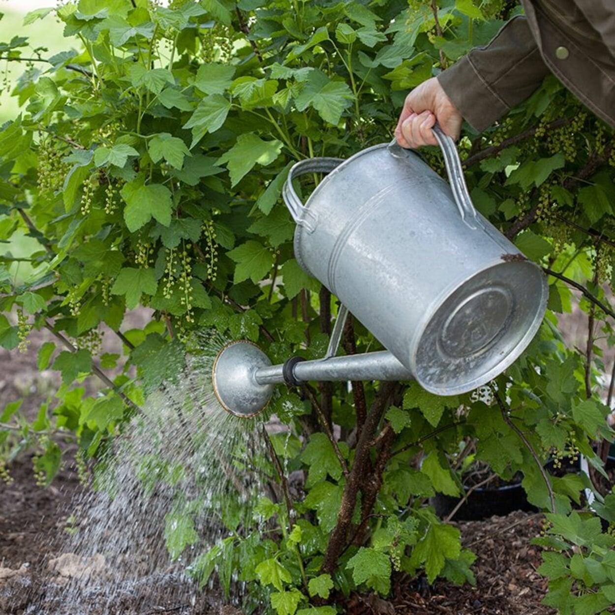 Bei Trockenzeit blühende Sträucher gezielt mit einer Kanne gießen