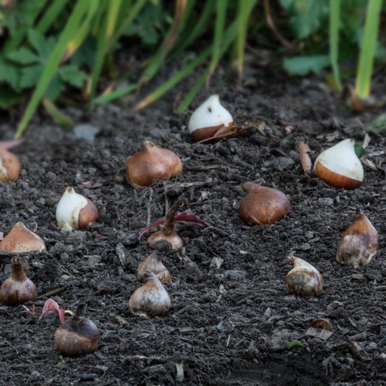 Auf größeren Beeten die Zwiebeln vor der Pflanzung auslegen