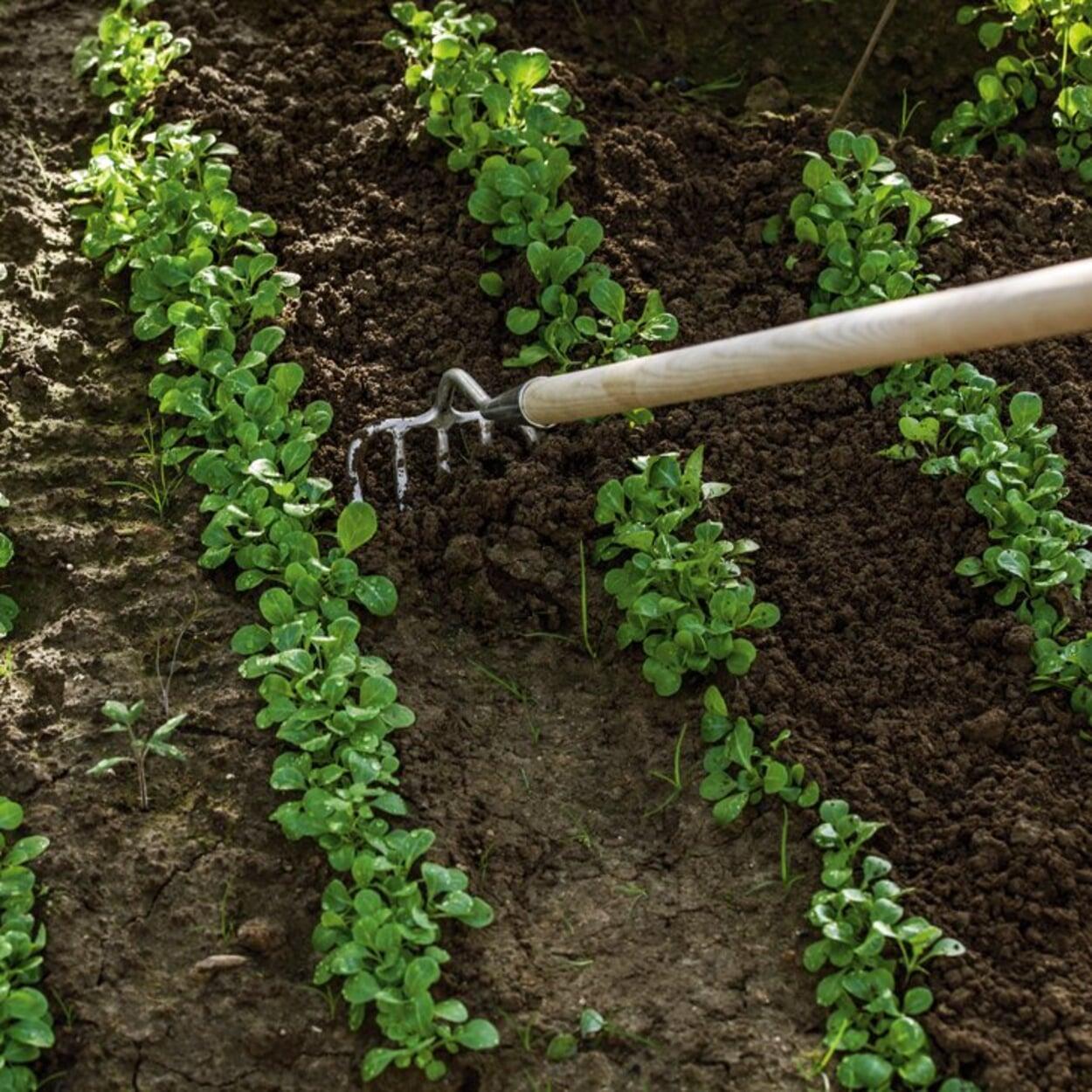 Zwischen Feldsalatreihen den Boden lockern und Unkraut entfernen