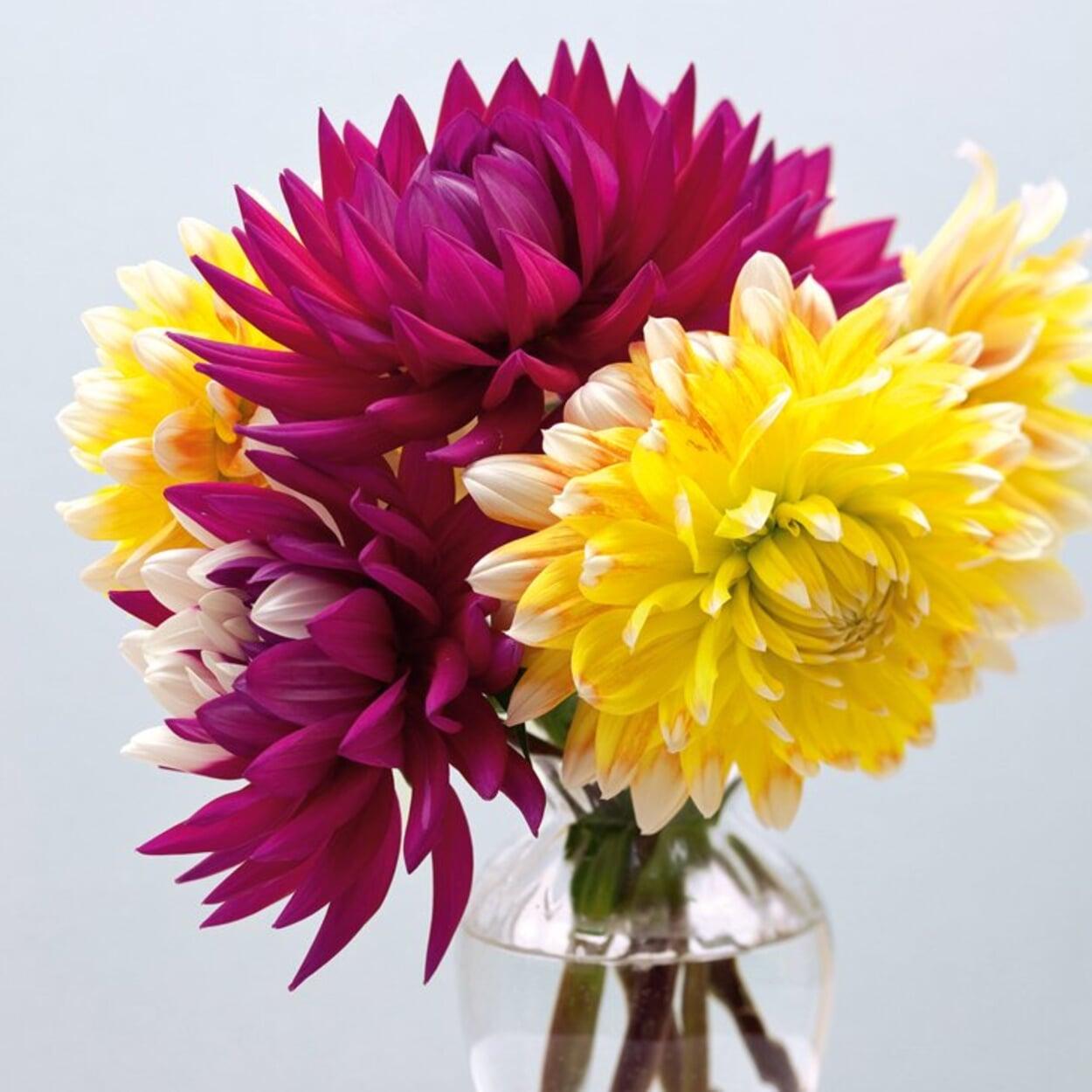 Dahlien eignen sich auch zum Schnitt für die Vase