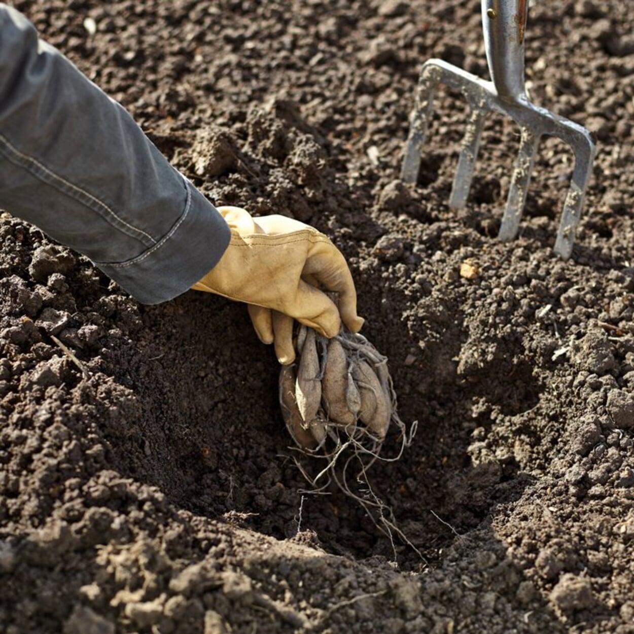 In gut gelockerten Boden pflanzen
