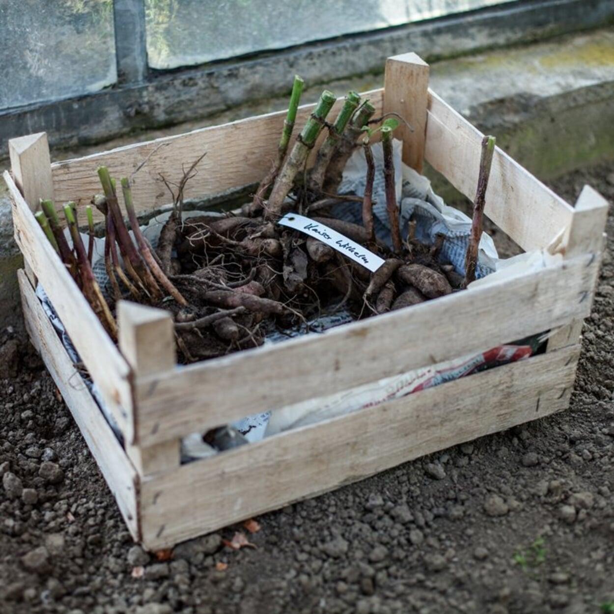 Ausgegrabene Knollen etikettieren und in einer Holzkiste überwintern