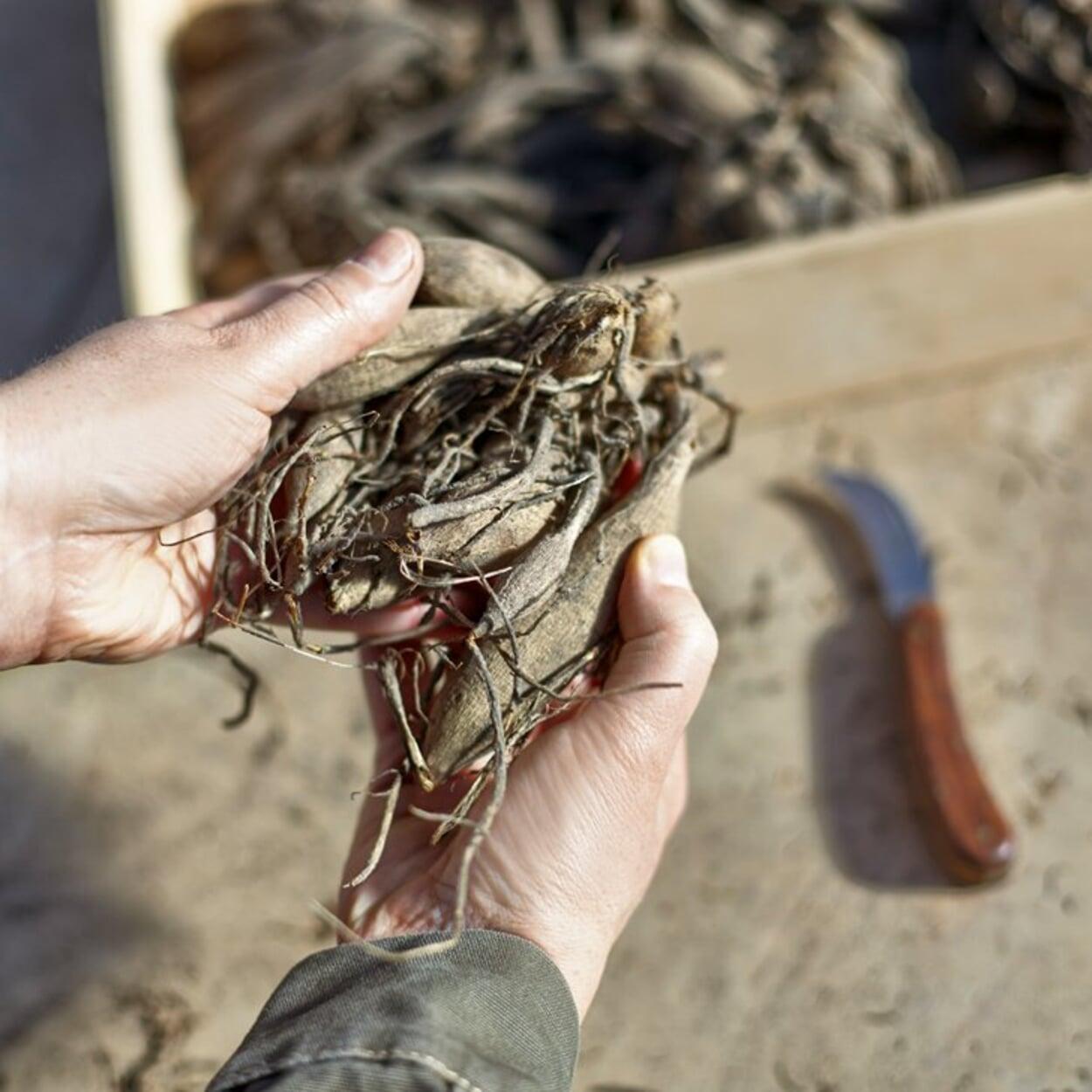 Die Knollen vor der Pflanzung auf Schäden prüfen