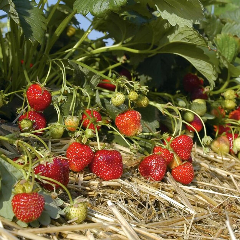 Erdbeeren mit Stroh mulchen