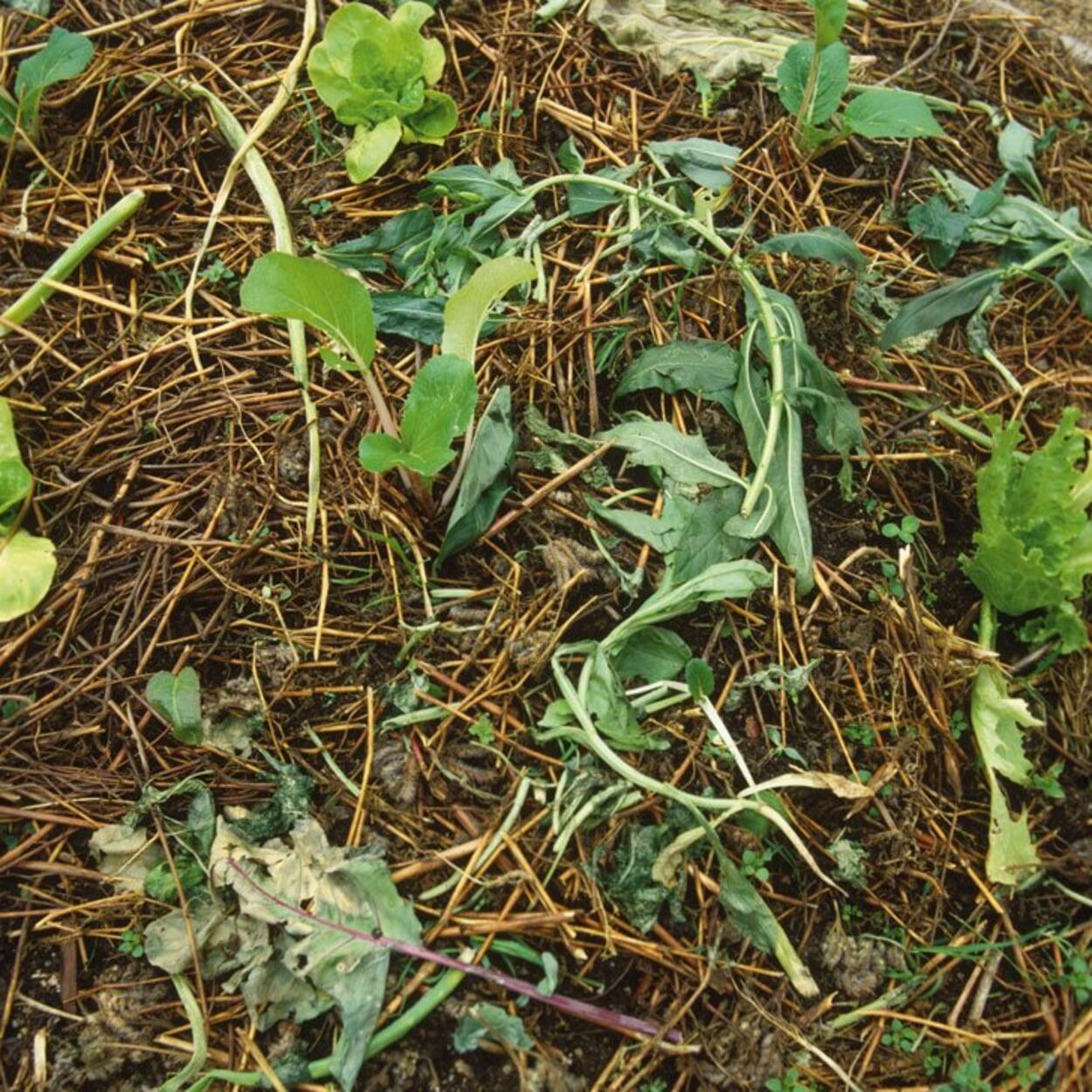 Erntereste als Mulchmaterial im Gemüsebeet belassen