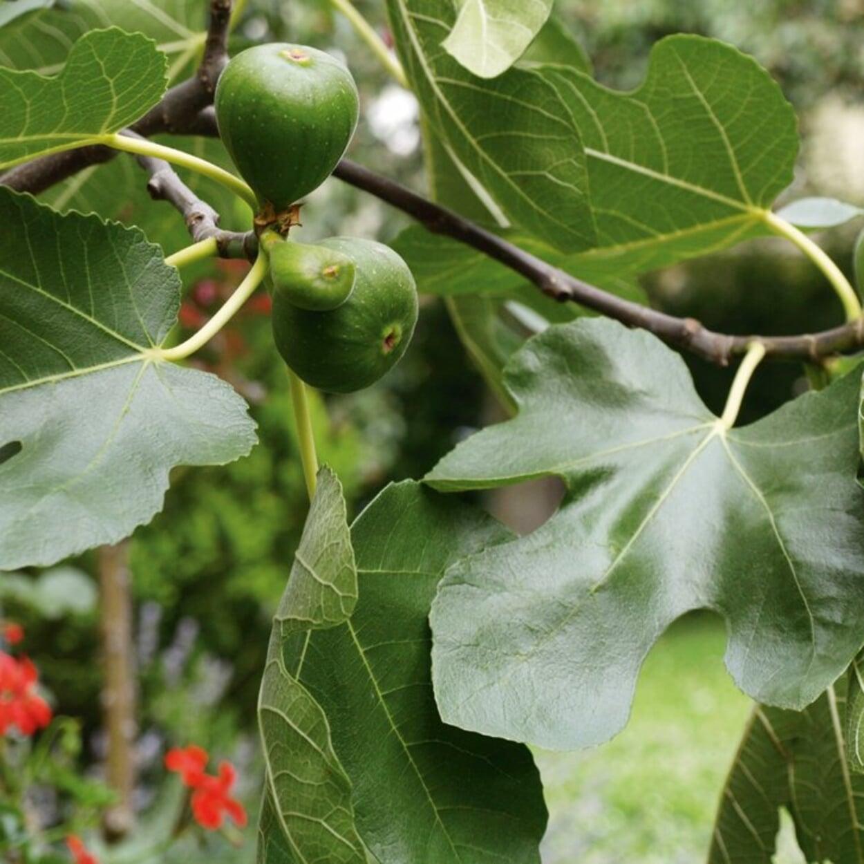Feigenbäume vertragen bis zu -10 °C und können erst spät ins Winterquartier
