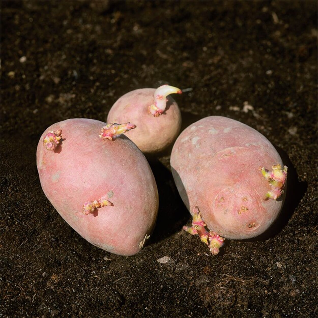 Angetriebene Kartoffeln mit kurzen, festen Keimen