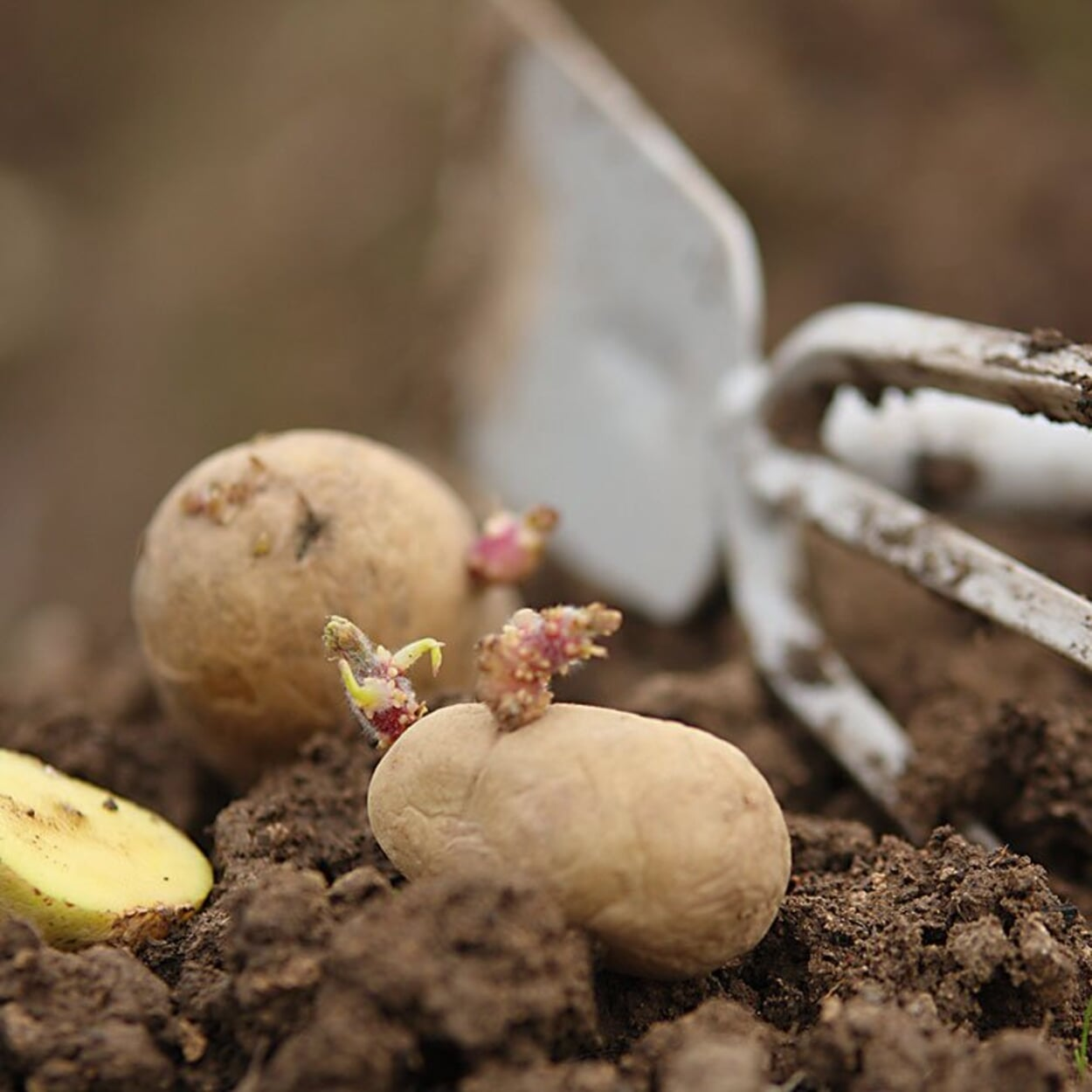Die gekeimten Kartoffeln dann im April ins Beet pflanzen.
