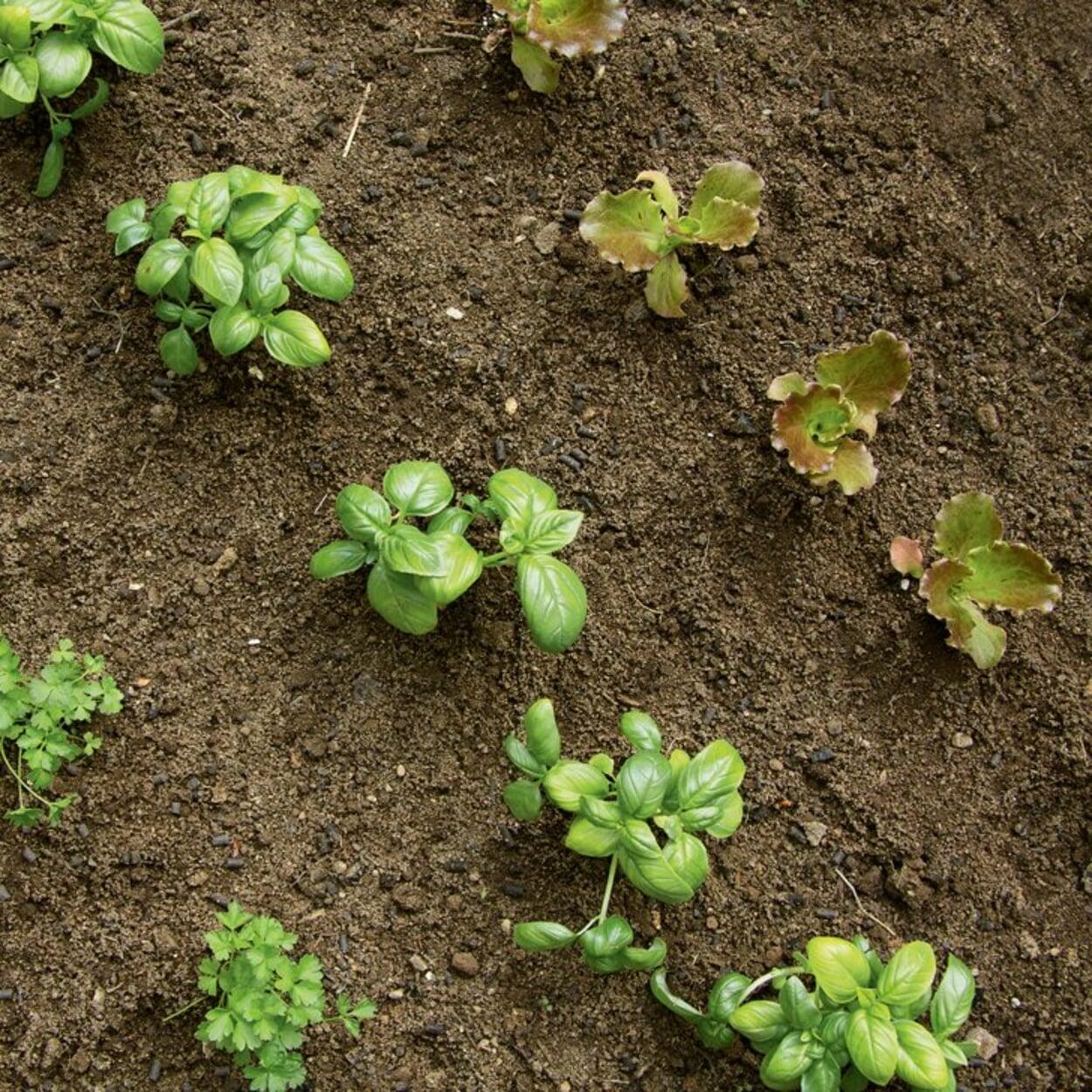 Gemüse- und Kräuterjungpflanzen in Reihen gepflanzt