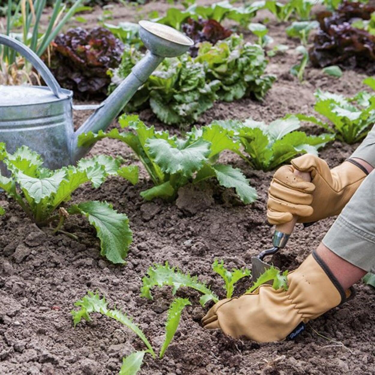 Jungpflanzen in lockeren Boden setzen, gut andrücken und gießen