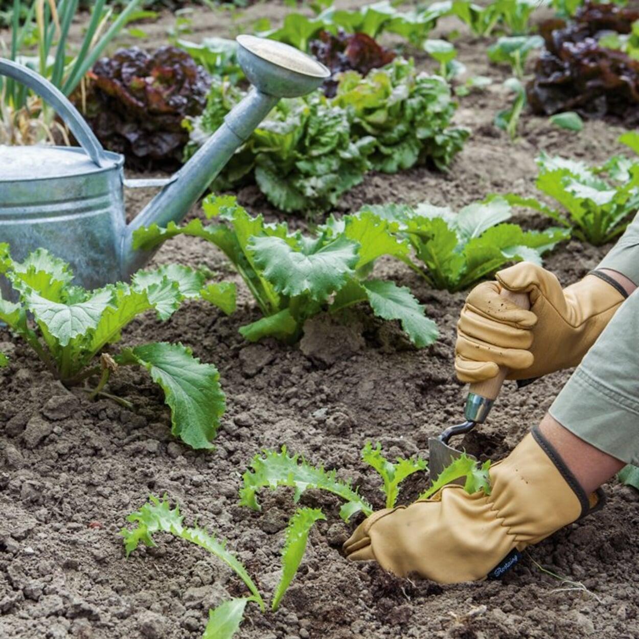 Gemüse auspflanzen