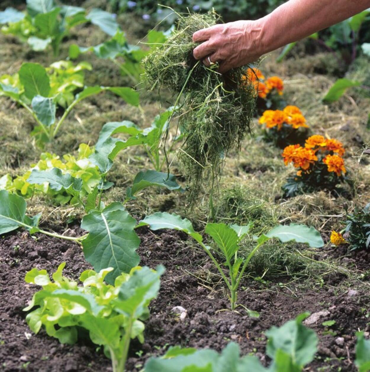 Mit Rasenschnitt zwischen Gemüsepflanzen mulchen