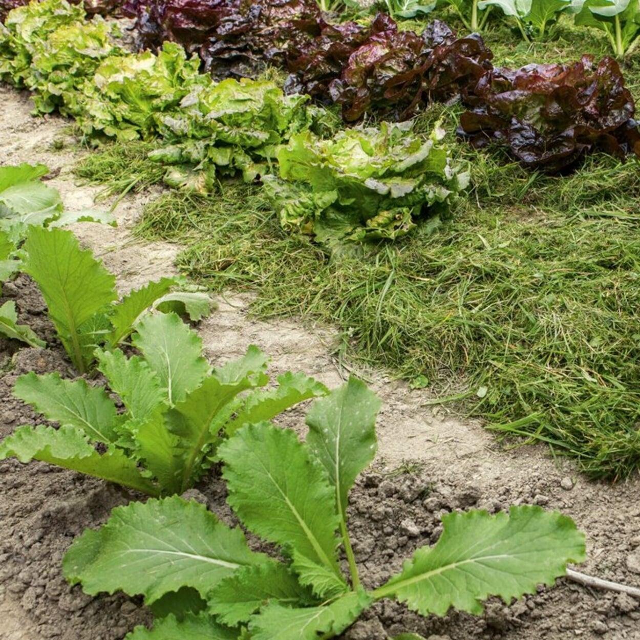 Gemüsebeete mulchen