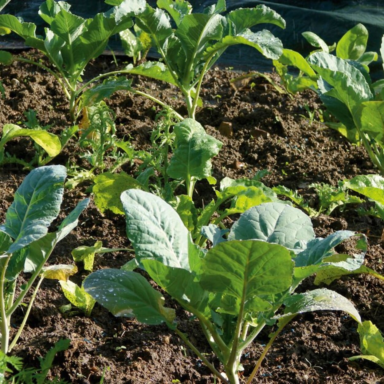 Kohlpflanzen für die Ernte im Herbst und Winter