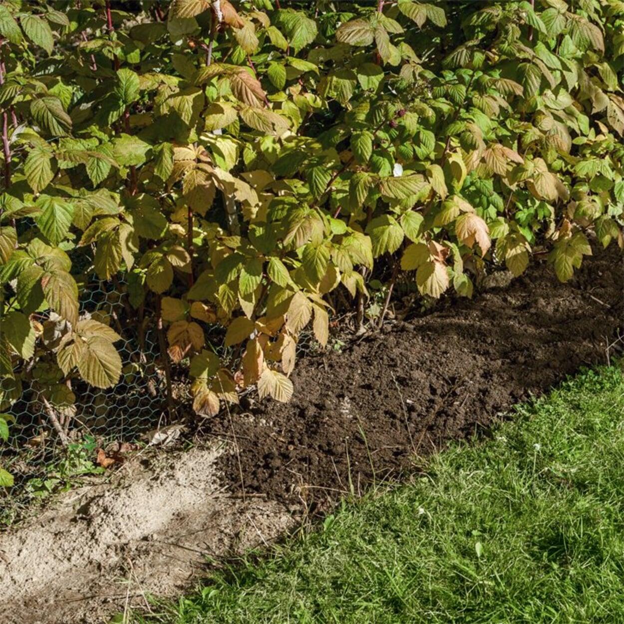 Himbeeren mit Kompost mulchen