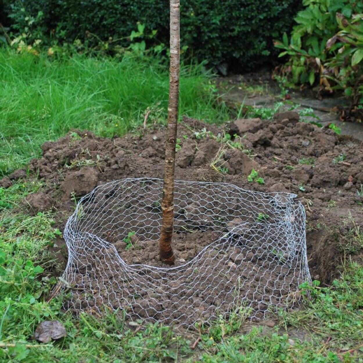 Zum Schutz vor Wühlmäusen den Baum in einen engmaschigen Drahtkorb pflanzen