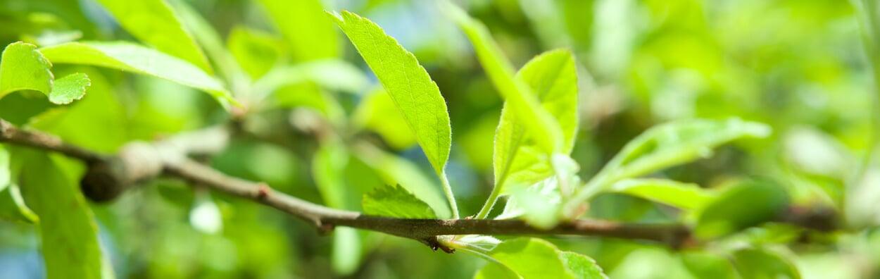Jungbäume von Graswuchs freihalten