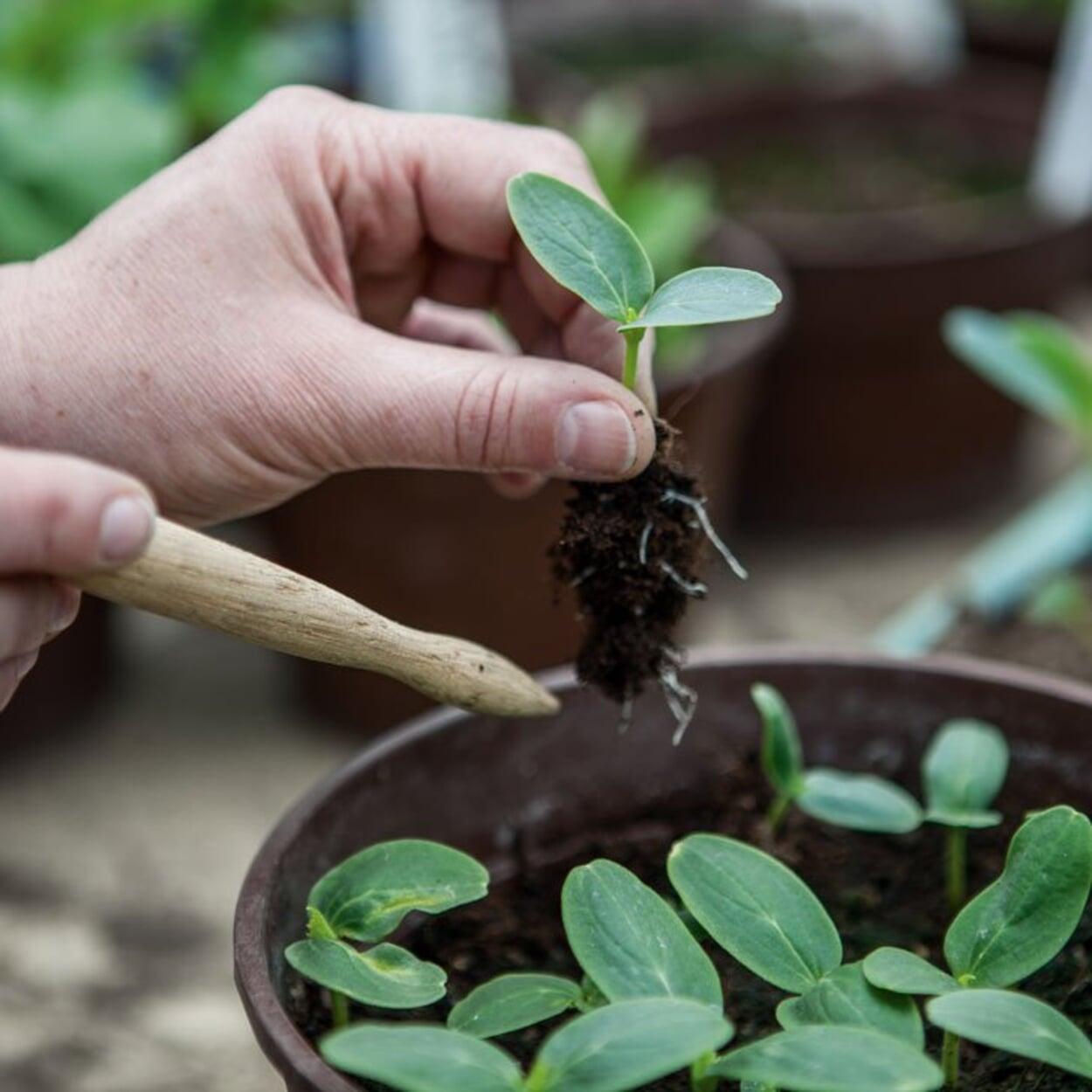 Die Jungpflanzen einzeln entnehmen, ohne Wurzeln zu beschädigen