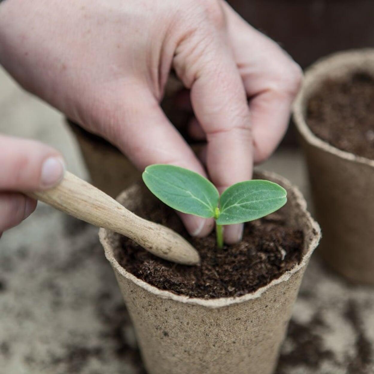 Möglichst tief pflanzen und die Erde gut andrücken