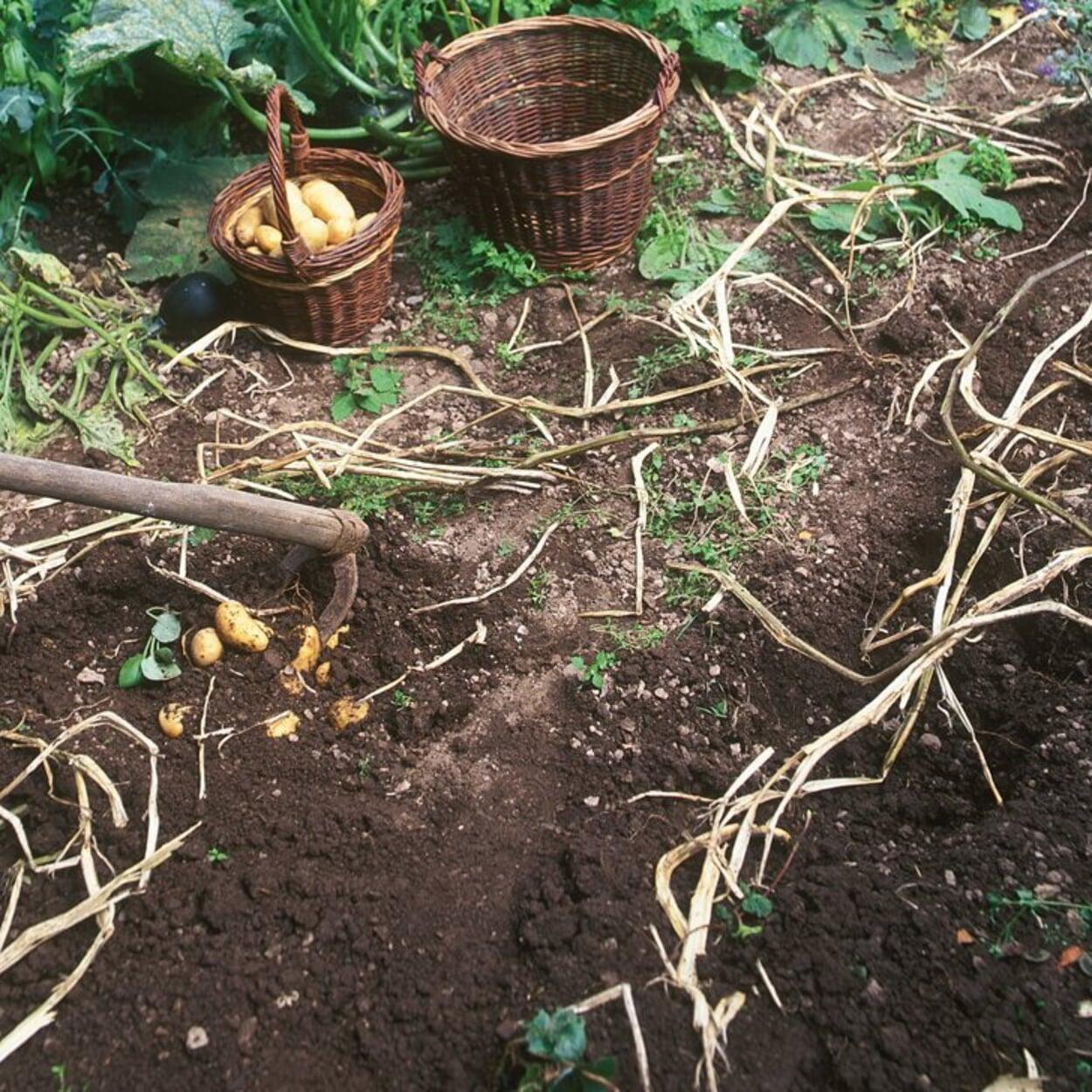 Kartoffeln ernten