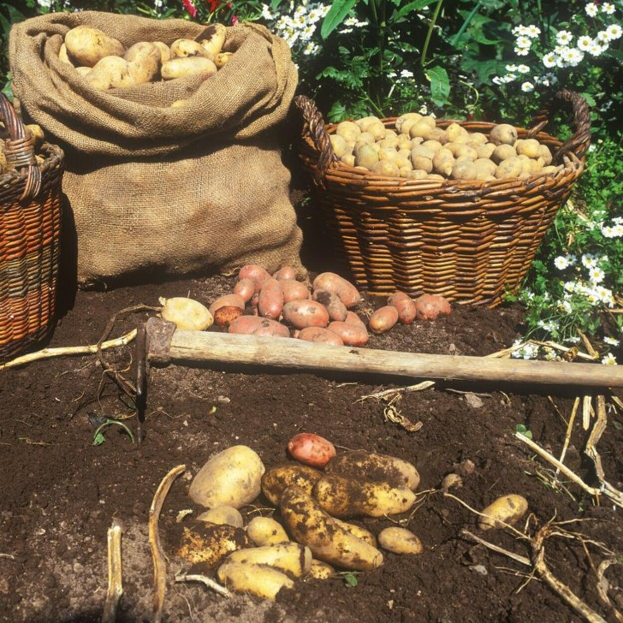 Kartoffeln in Körbe oder Säcke füllen