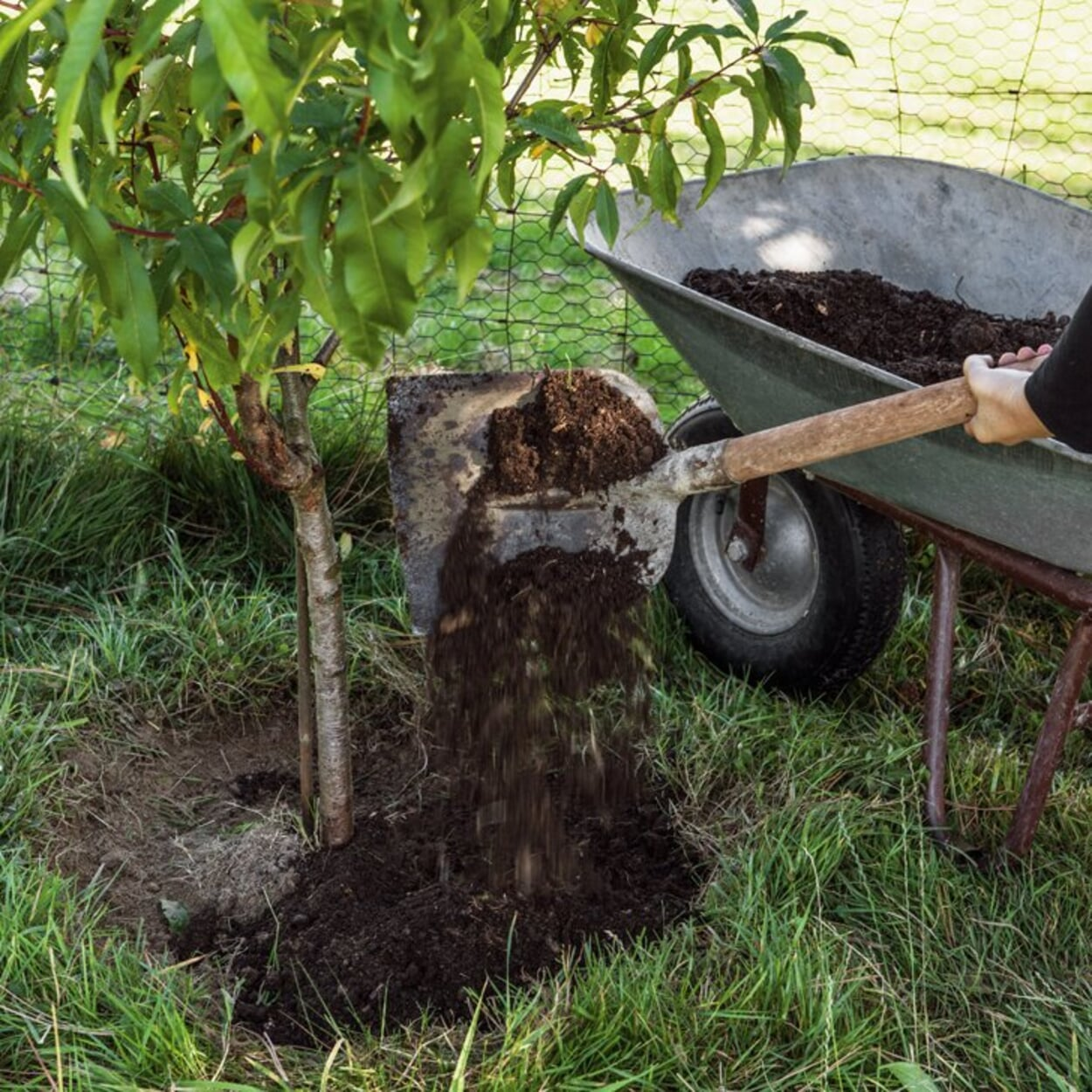 Kompost auf Baumscheiben verteilen