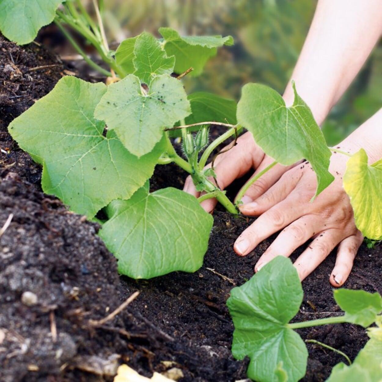 Zur Beschattung den Kompost mit Kürbis bepflanzen
