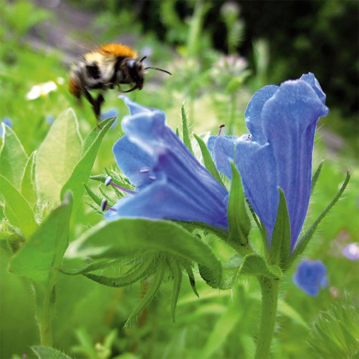Nektarreiche Blüte des Natternkopf