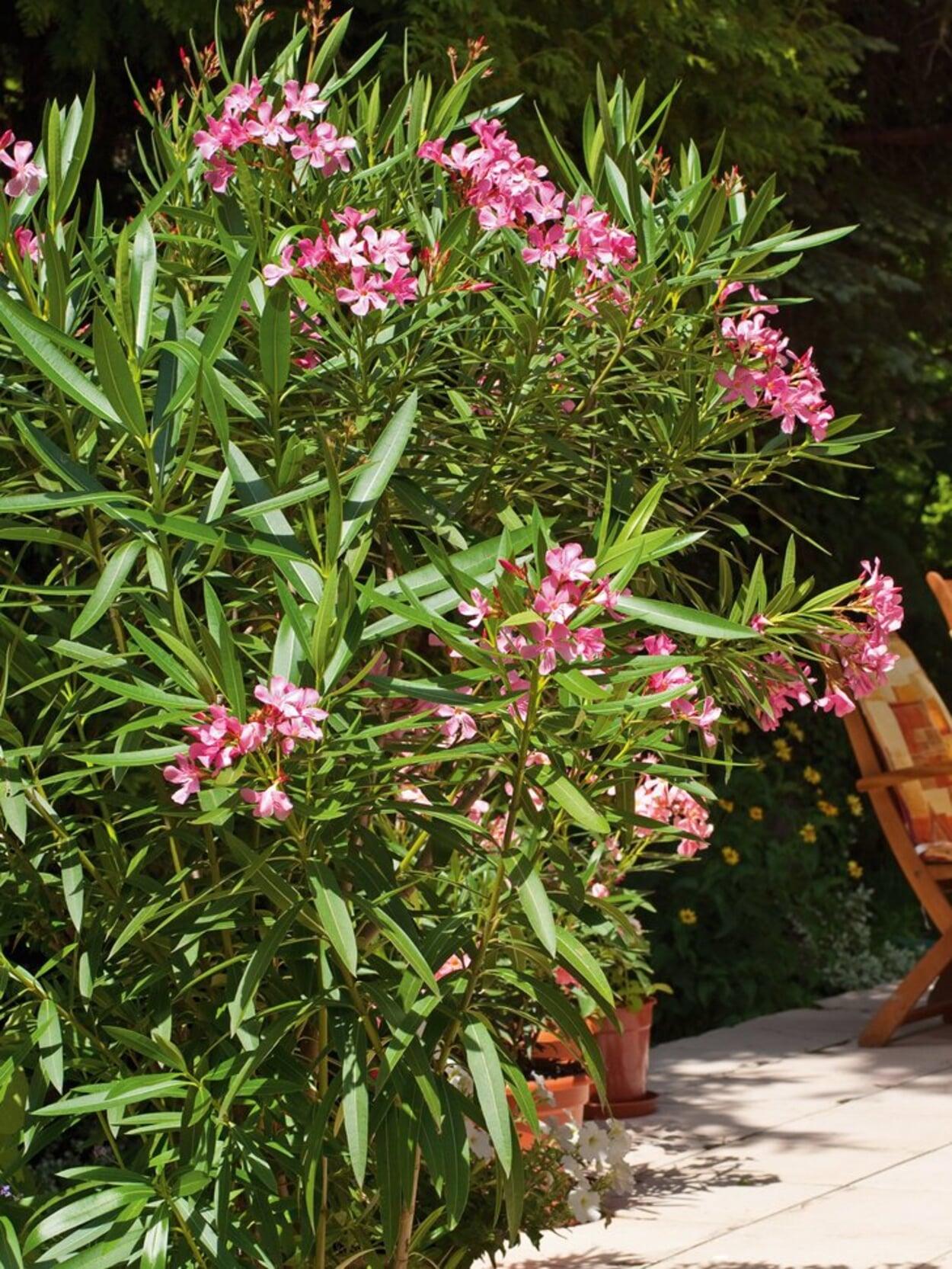 Oleander nicht schneiden, da sonst die neuen Blütenknospen entfernt werden