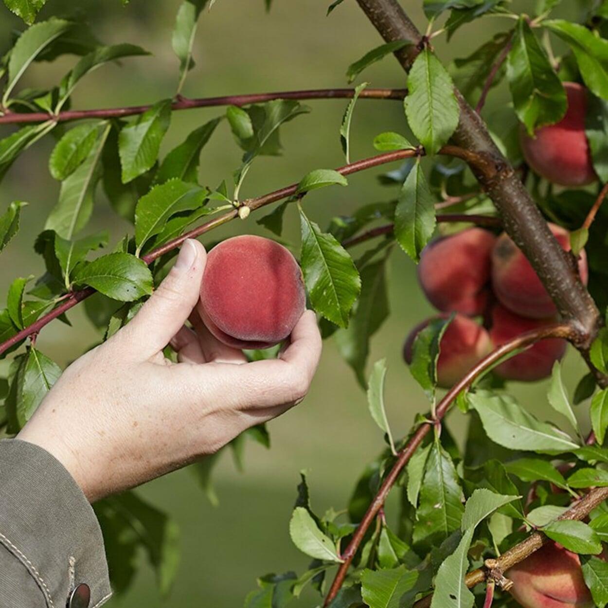 Pfirsiche nur vollreif ernten