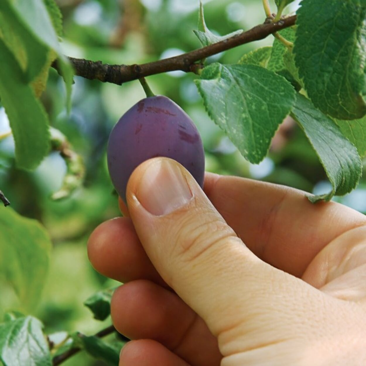 Bei Pflaumen den optimalen Erntezeitpunkt durch Drücken der Frucht testen