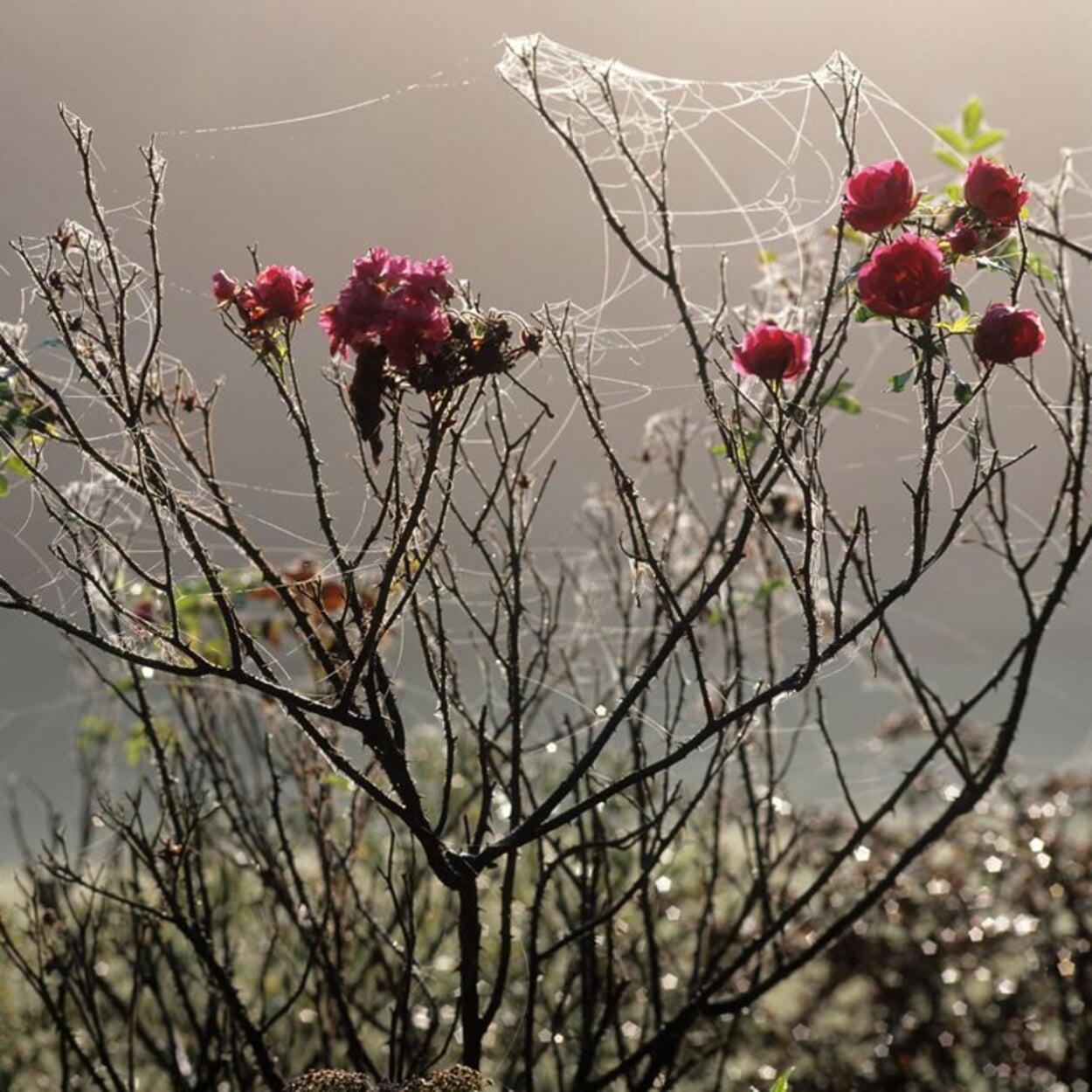 ... unter anderem weil einige Strauchrosen bis weit in den Herbst blühen