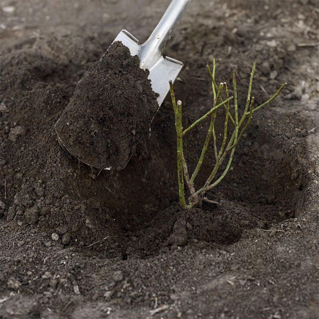 Mit Erde auffüllen; die Veredelungsstelle muß sich am Ende etwa 5 cm tief im Boden befinden