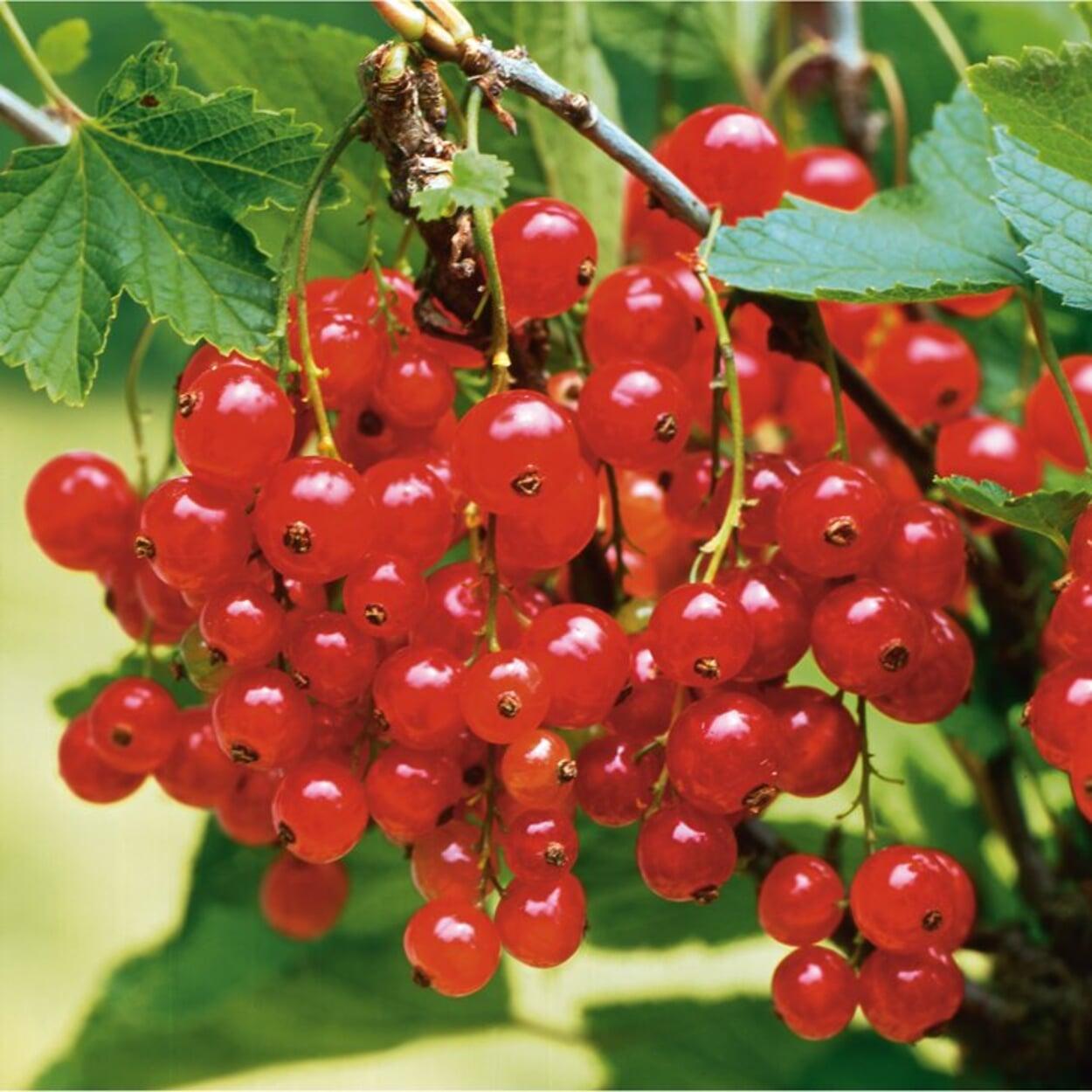 Zur Pflanzung im Herbst eignen sich zum Beispiel Rote Johannisbeeren