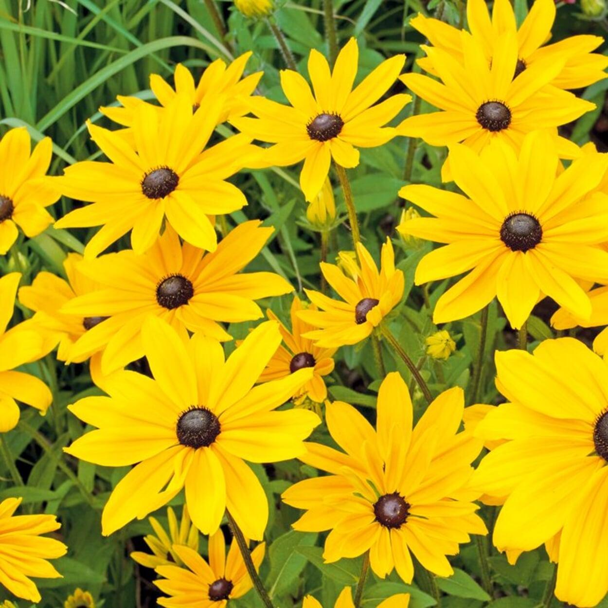 Niedrige Sonnenhut-Sorten sind gut für die Pflanzung in Gefäße geeignet