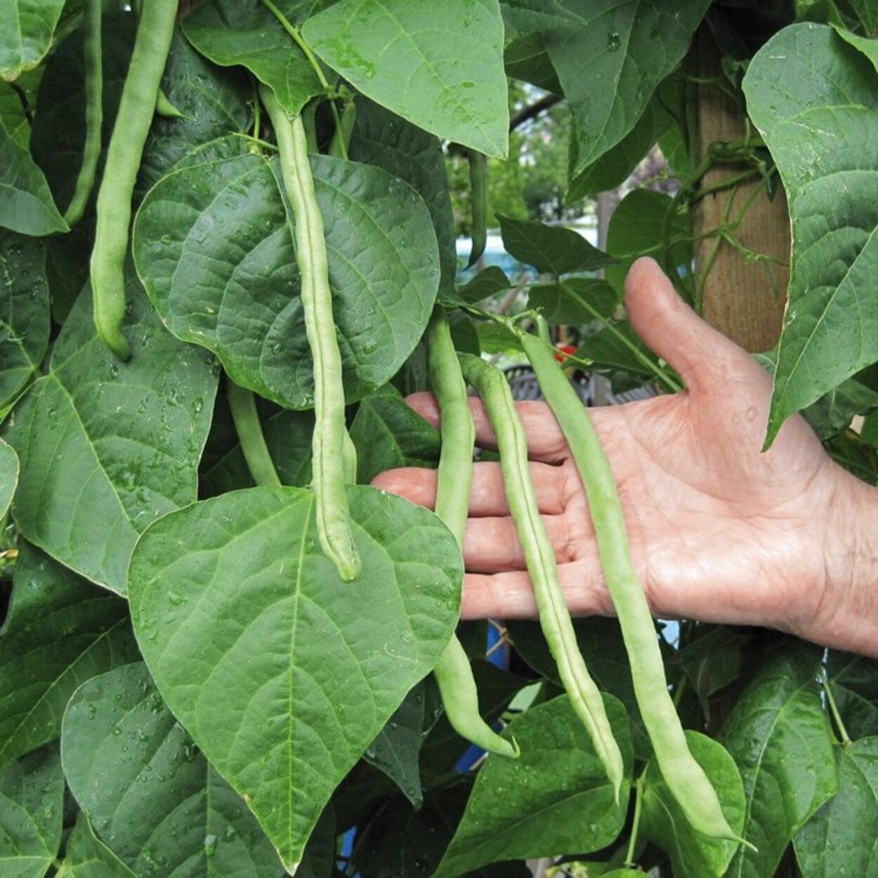 Stangenbohnen ernten