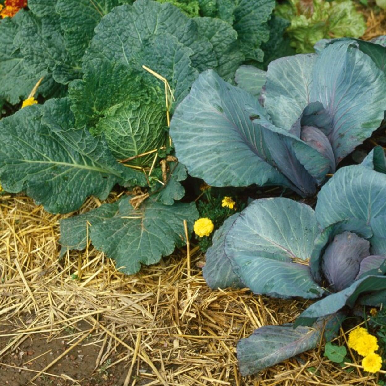 Strohmulch im Gemüsebeet