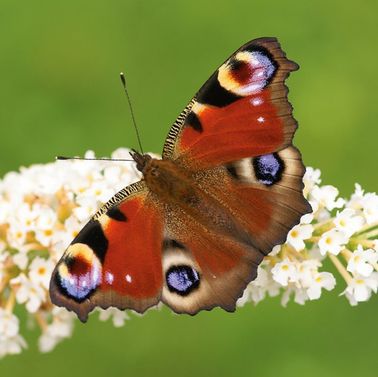 Auch Schmetterlinge wie das Tagpfauenauge können mit speziellen Kästen gefördert werden