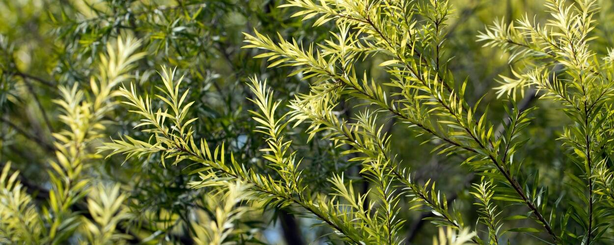 Teebaum (Melaleuca alternifolia)