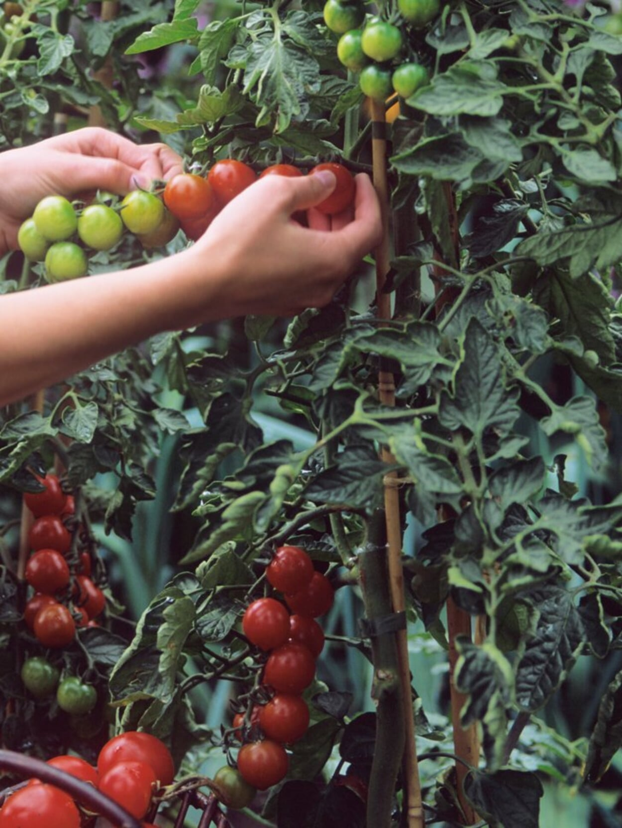 Tomatenpflanze am Bambusstab