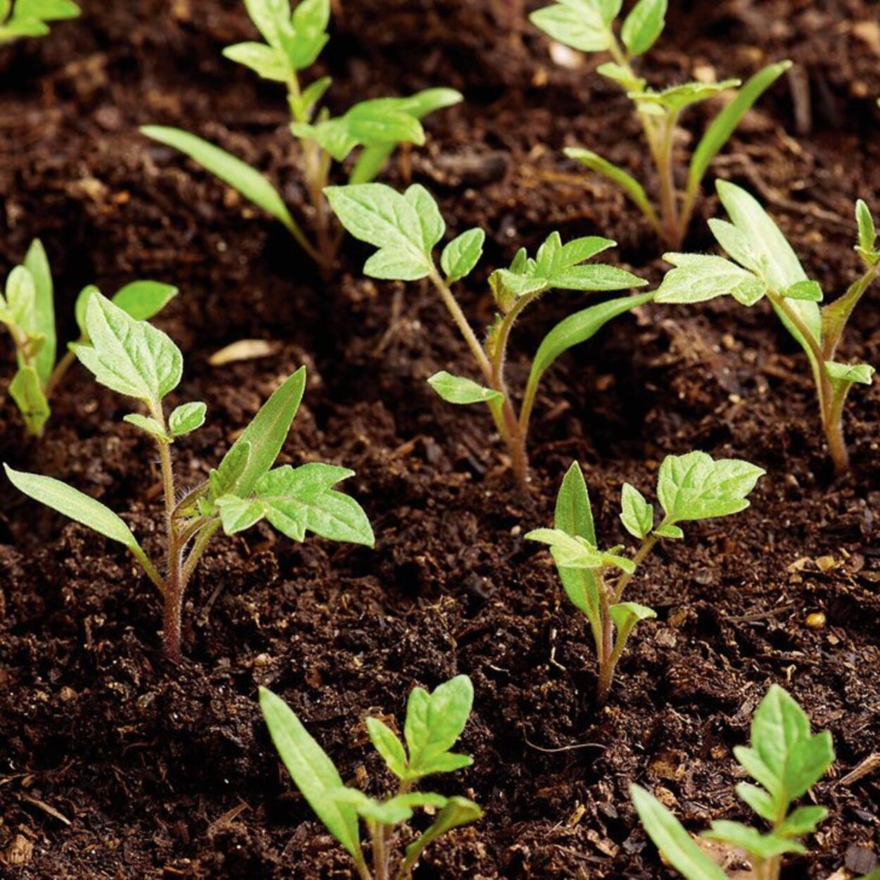 Gleichmäßig auflaufende Saat bei hoher Keimfähigkeit