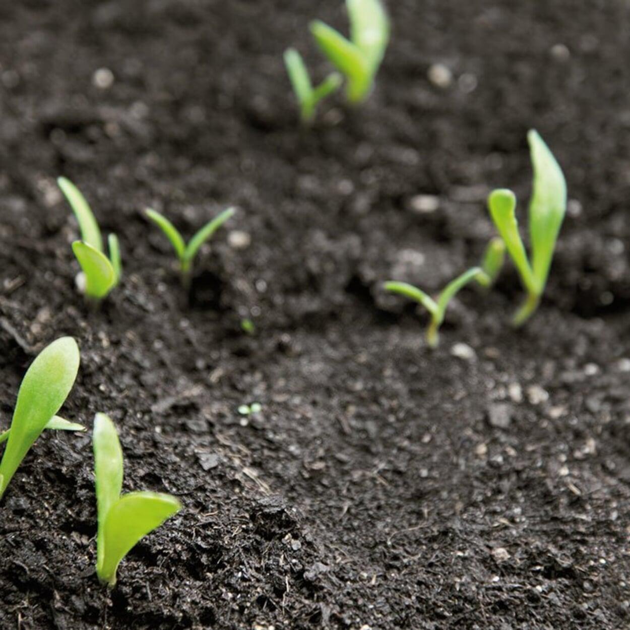 Saatgut mit geringer Keimfähigkeit läuft nur unzureichend auf