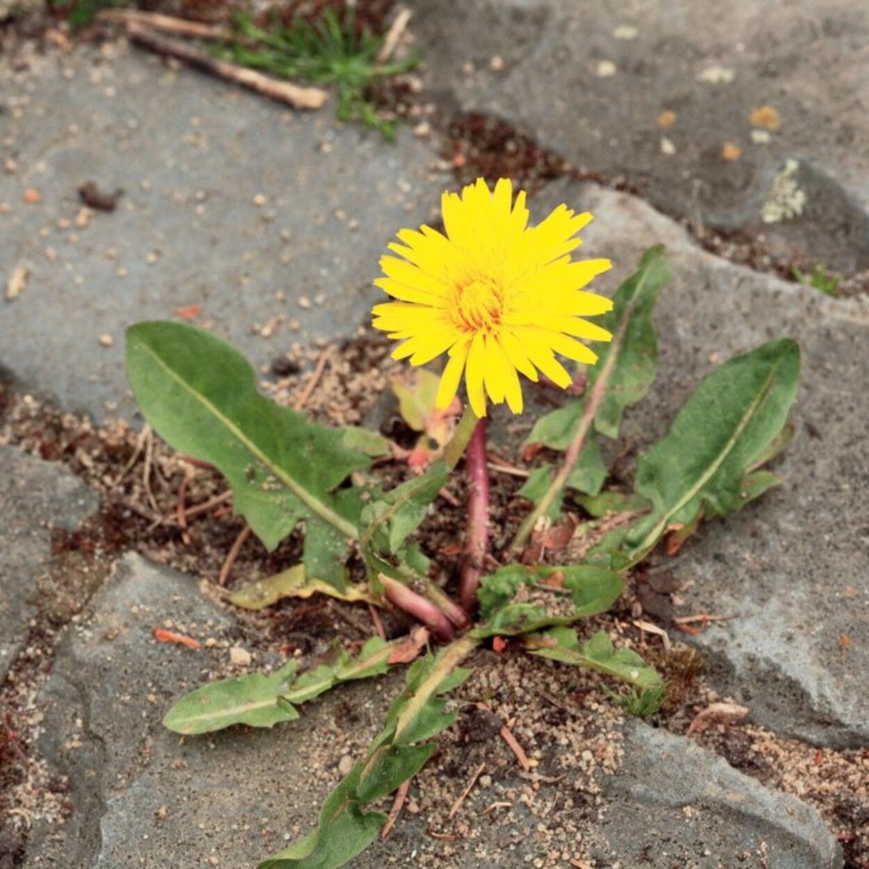 Lässt sich Unkraut nicht vollständig aus Pflasterfugen entfernen, zumindest die Blüten rechtzeitig entfernen