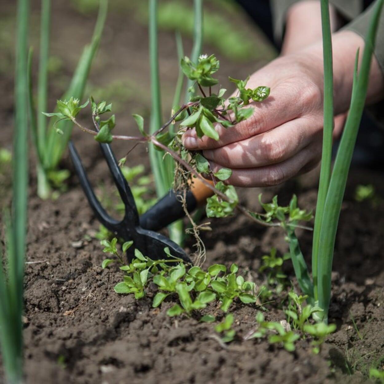 Vogelmiere wurzelt nur flach; sie kann einfach aus dem Boden gezogen