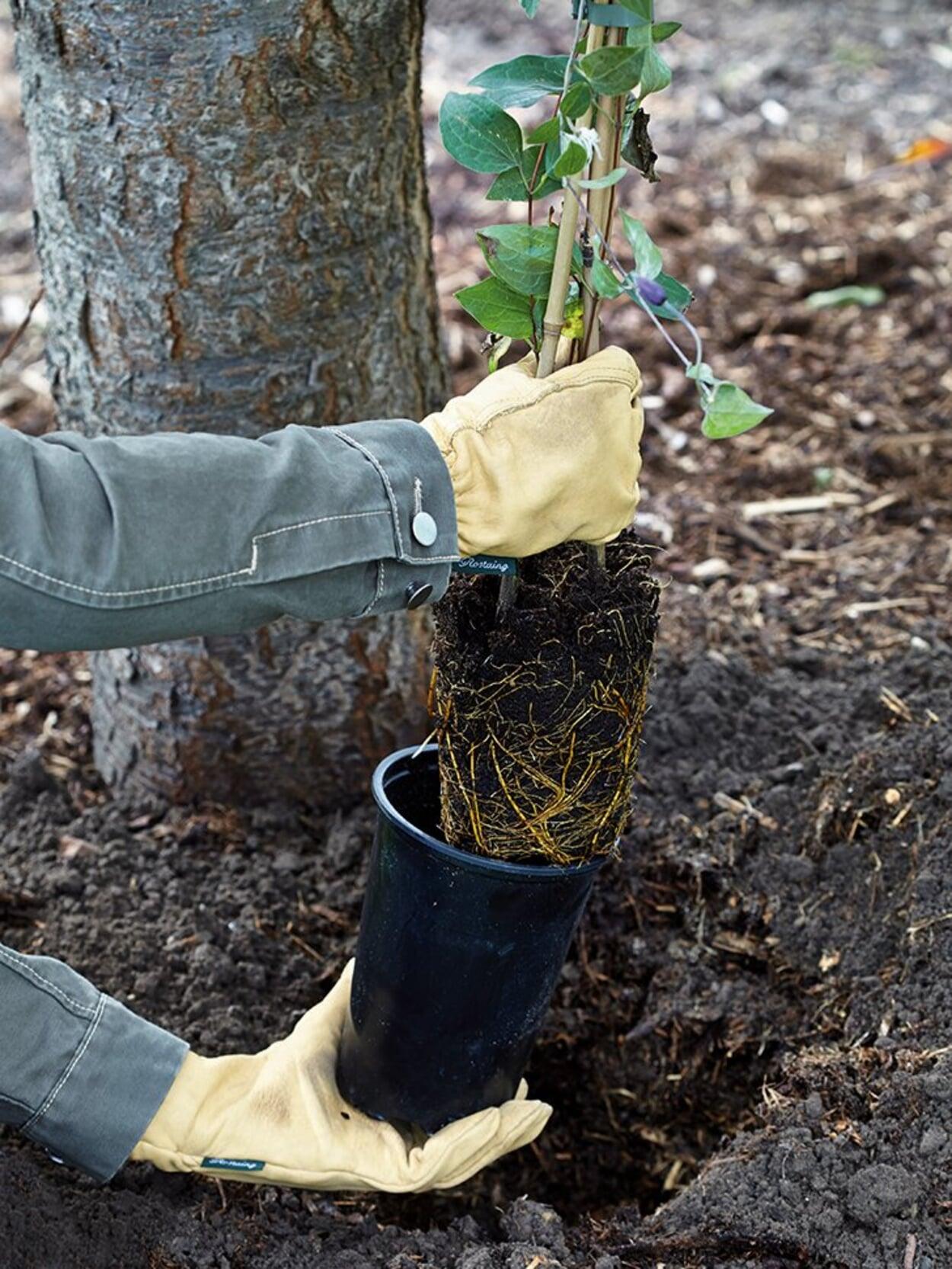 Waldreben pflanzen
