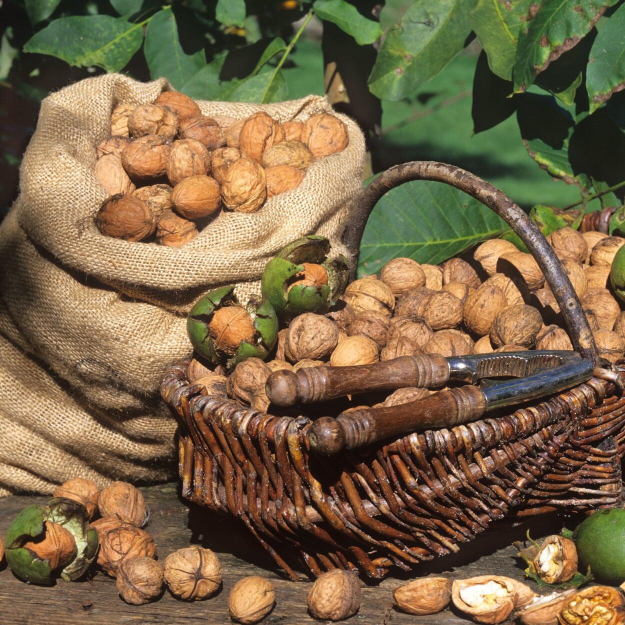 Die trockenen Nüsse in Säcken einlagern