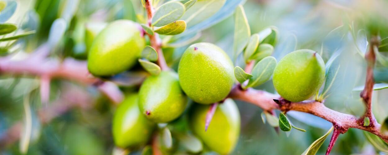 Arganbaum (Argania spinosa)