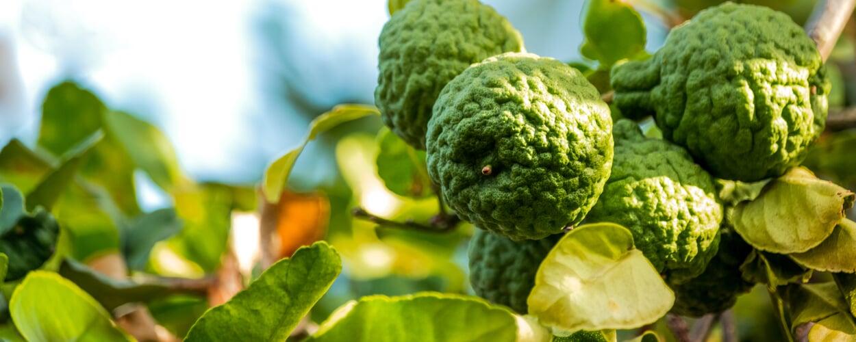 Bergamotte (Citrus bergamia)